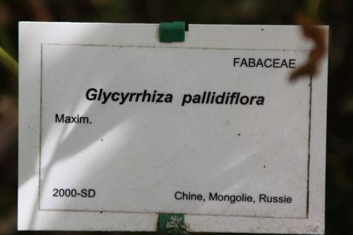 glycyrrhiza marnay 21 sept 2013 074 (7).jpg