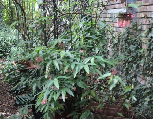 1 begonia maculata 13 août 2014 001 (1).jpg