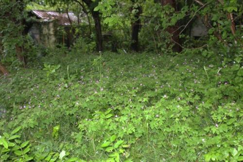 geranium robert 22 mai 2016 012.jpg
