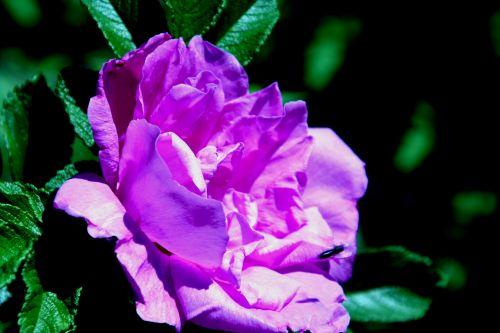 roseraie romi 7 juin 017.jpg
