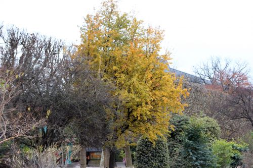 pyrus caucasica 1 paris 1 dec 2013 078 (1).jpg