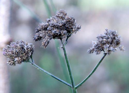 verbena semences romi 21 nov 016.jpg