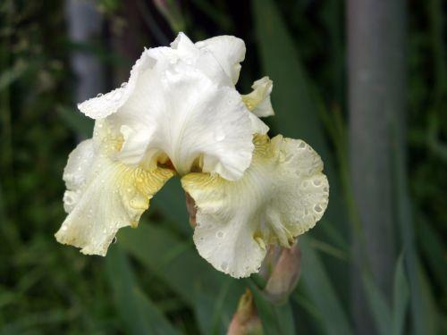 iris beige 12 mai 006.jpg