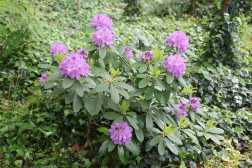 2 rhododendron catawbiense veneux 12 mai 2018 005 (2).jpg