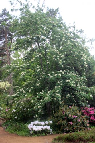 2 sorbus scalaris gb 18 mai 2013 164 (2).jpg