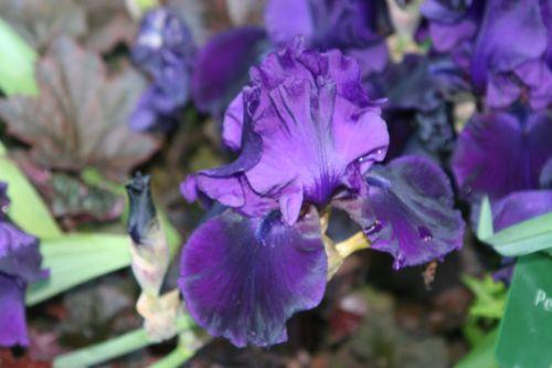 iris violet paris 18 mai 054.jpg