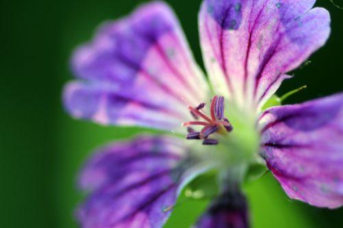 6 geranium nodosum romi 31 mai 2014 011 (2).jpg