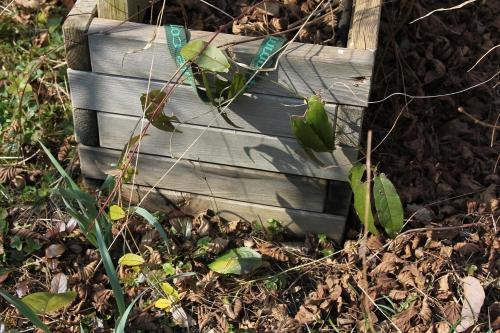 6 bignonia capreolata romi 16 mars 2015 017.jpg