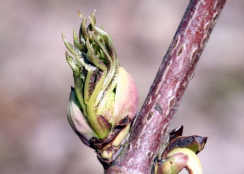 callicarpa fleurs romi 18 mars 046.jpg