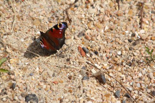 papillon 16 juil 2012 069.jpg