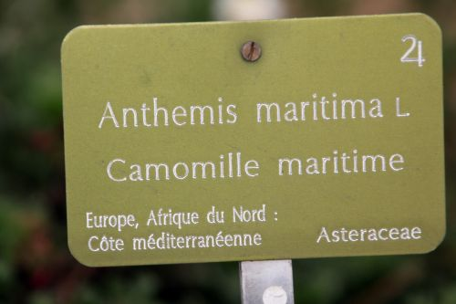 anthemis maritima 4 paris 21 janv 2012 172 (3).jpg