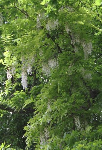 3 wisteria veneux 26 mai 2013 013 (1).jpg