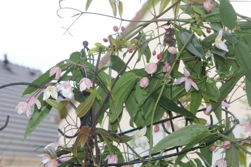 8 clematis apple blossom veneux 24 mars 2017 001 (2).jpg