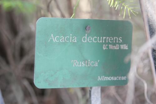 acacia decurrens paris 18 mars 2015 156.jpg