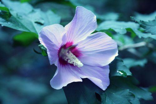 hibiscus syr veneux 29 juil 2010 017.jpg