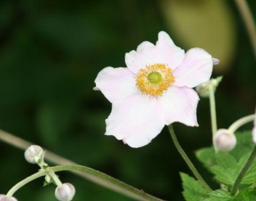 anemone sens 29 juil 138.jpg