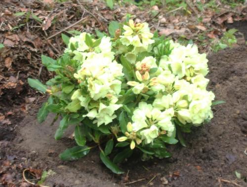 rhododendron Horizon Monarch veneux 2 mai 2017 001.jpg