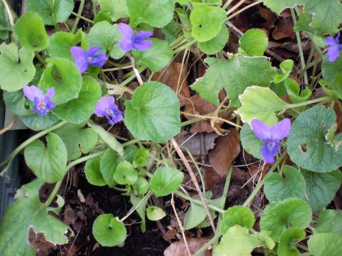 1 viola odorata veneux 10 mars 2011 040.jpg