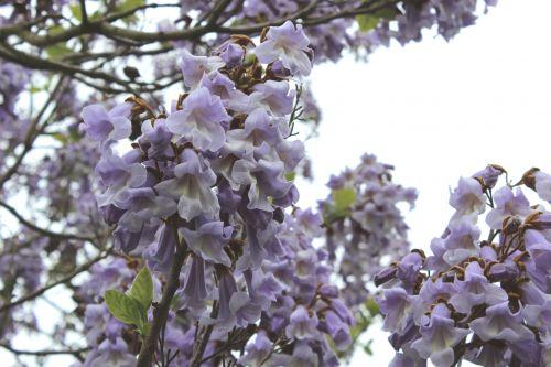 4 paulownia veneux 18 mai 2013 006 (4).jpg