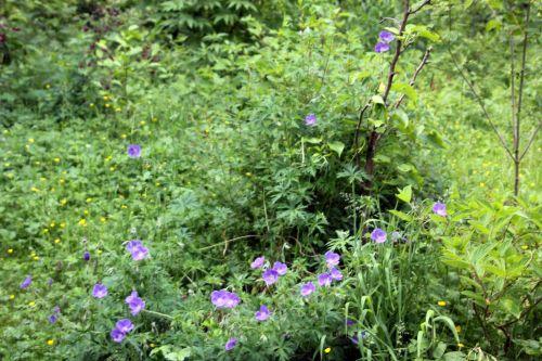 1 geranium orion romi 30 mai 2012 005.jpg