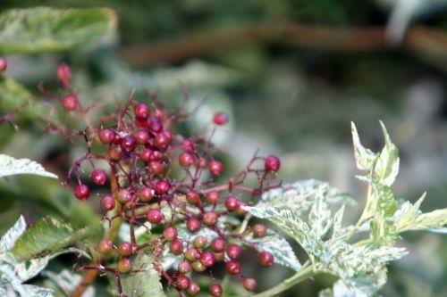 pulv fruits rouges 21 août 2010 019.jpg