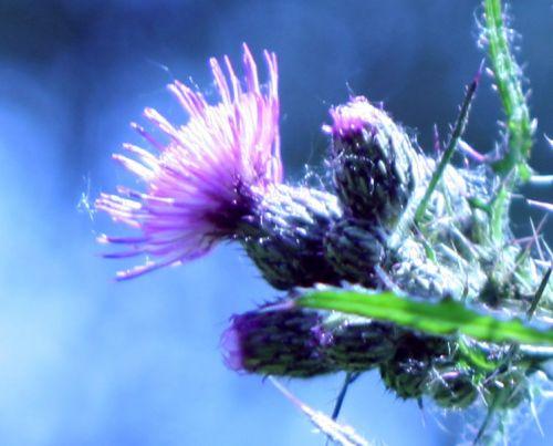 chardon fleur romi 7 juin 028.jpg