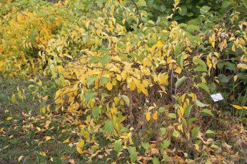 celastrus orbiculatus 2 barres 13 oct 2012 126 (3).jpg