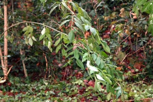 palmensis branche veneux 11 déc 2010 017.jpg