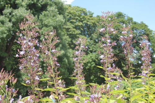 2 cicerbita bourgaei paris 21 juil 2012 203 (3).jpg