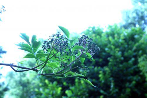 buergeriana romi22 juin 2010 140.jpg
