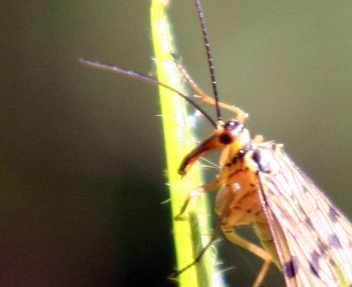 mouche scorpion tête veneux 30 avril 008.jpg