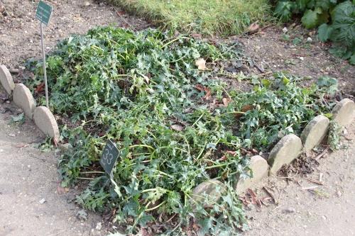 15 acanthus spinosus paris 31 janv 2015 160 (1).jpg