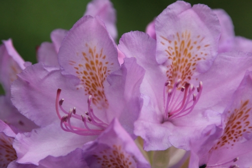10 rhododendron catawbiense veneux 12 mai 2018 005 (5).jpg