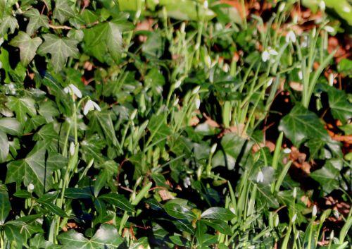1 galanthus nivalis rec  1 fév 2014 006.jpg