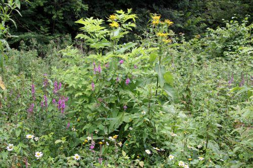 1 inula helenium romilly 16 juil  2012 262.jpg