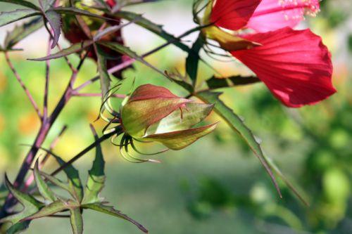 hibiscus coccineus fruit 1 paris 24 sept 2011 091.jpg