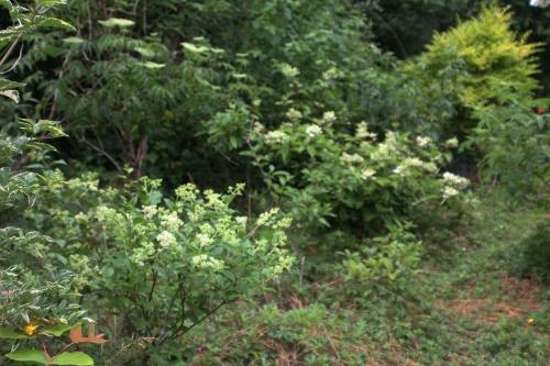 9 hydrangeas romi 20 juin 2015 030.jpg