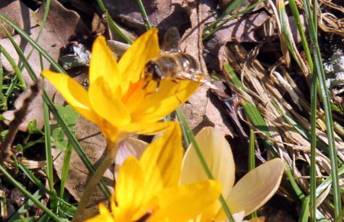 crocus abeille 16 fév 2013 009 (1).jpg