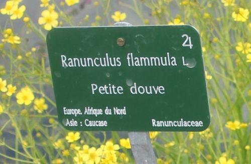 ranunculus flammula étiq paris 23 juin 2012 361.jpg