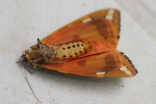 5 callimorpha quadripunctaria veneux 1 août 2015 001.jpg
