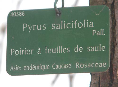 7 pyrus salicifolia paris 10 nov 2012 080.jpg