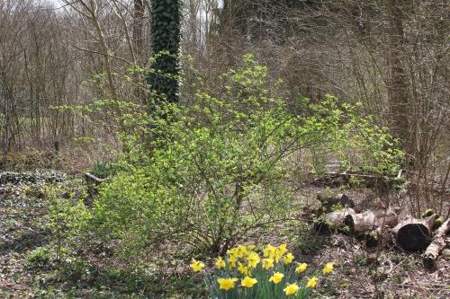 1 rosa multiflora romi 1 avril 2015 054 (2).jpg