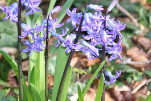 4 jacinthe veneux 23 mars 2016 003.jpg