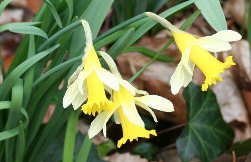1 narcissus pseudonarcissus veneux 7 mars 022.jpg