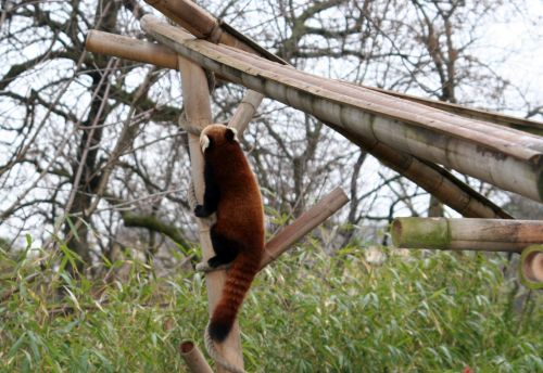 petit panda 9 fev 054.jpg