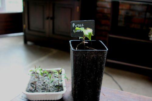 pyrus caucasica semis 29 avril 2012 014.jpg