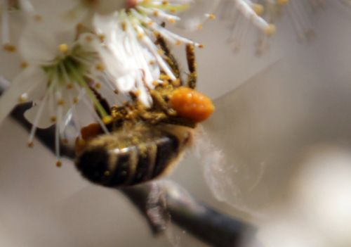abeille romi 14 avril 2013 023.jpg