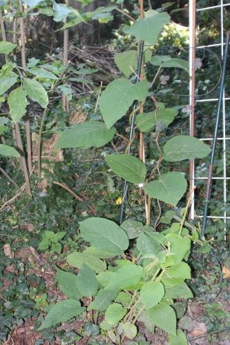 2 actinidia mâle veneux 30 sept 2015 011.jpg