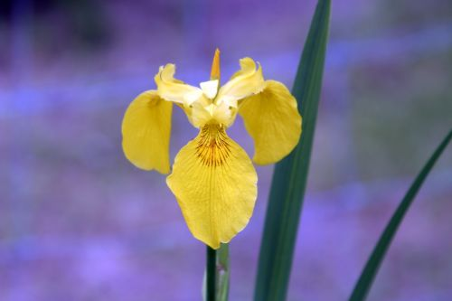 iris royauté romi 28 mai 063.jpg