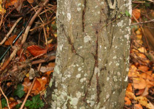 carpinus veneux 7 nov 2010 006.jpg